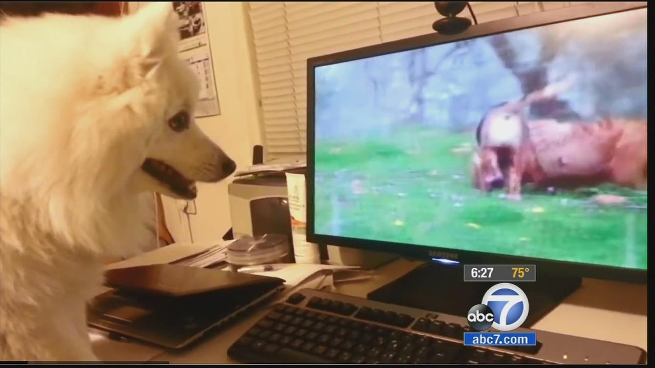 A dog watches DogTV on the computer in this undated file photo.