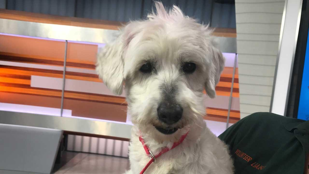 Our ABC7 Pet of the Week on Tuesday, March 21, is Beau, an 8-year-old poodle mix.