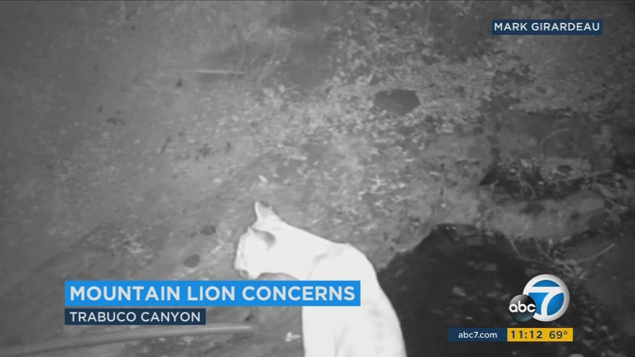 A mountain lion is seen roaming in the Trabuco Canyon area in video captured by Mark Girardeau.