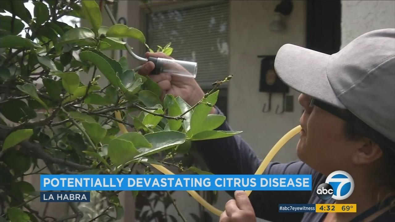 The citrus plant killing Huanglongbing, or HLB, was detected in La Habra, according to state officials.