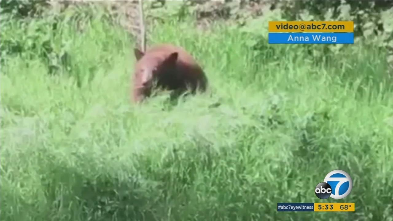 A bear is shown in the backyard of a Glendale home.