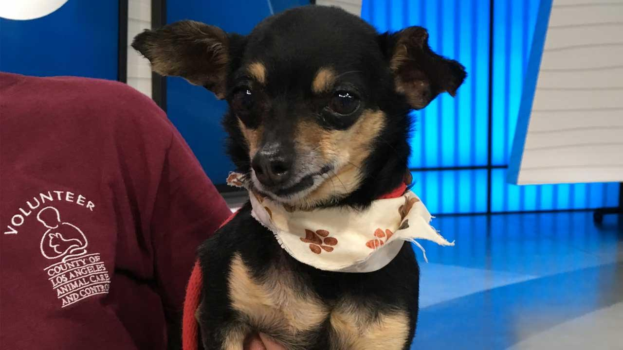 Our ABC7 Pet of the Week on Thursday, April 20, is Spike, a 10-year-old Chihuahua mix. Please give him a good home!