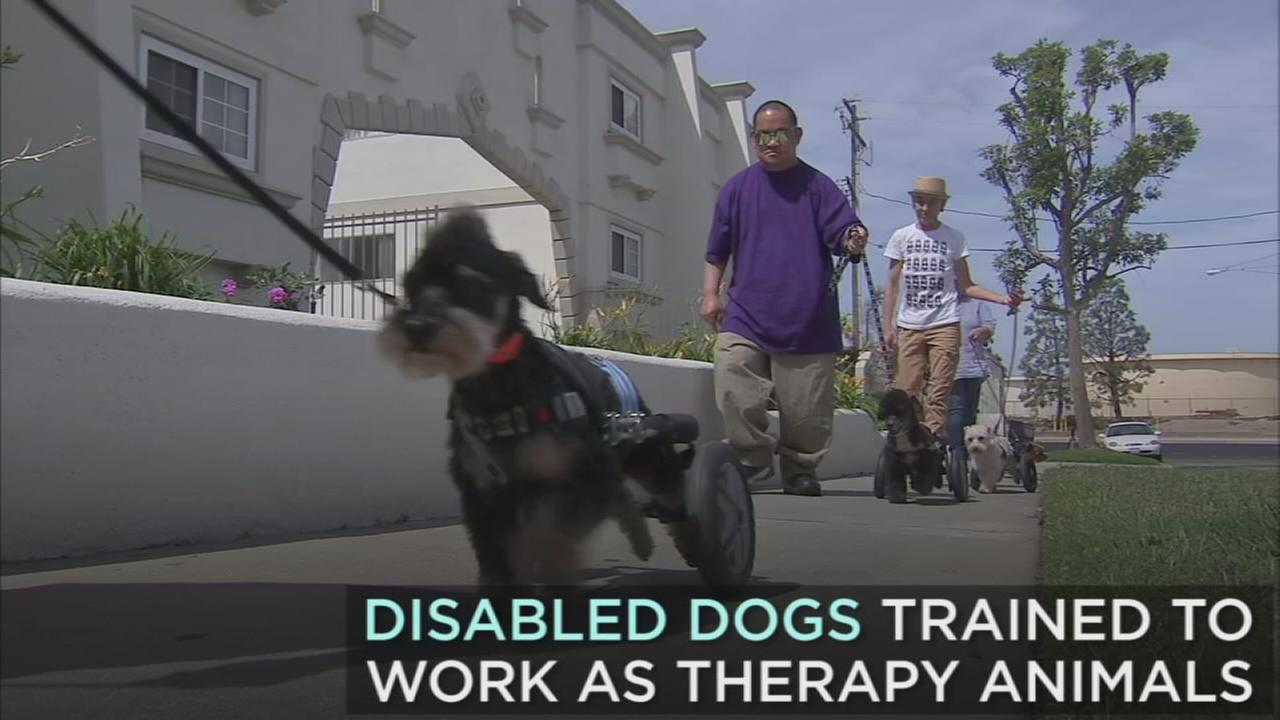 A Torrance nonprofit is training dogs with disabilities to work as therapy animals to adults with disabilities.