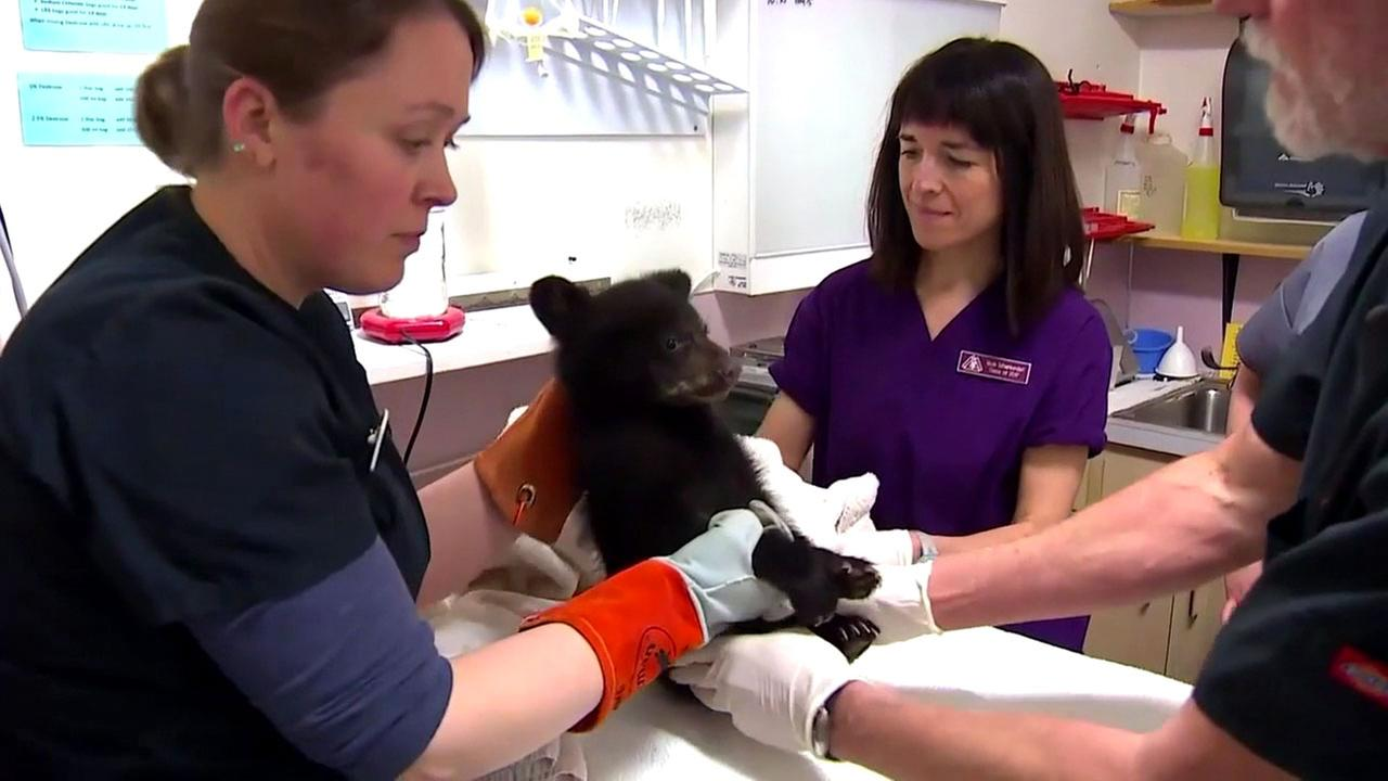 A bear cub in Oregon being checked out by doctors after hunters took it in for two days.