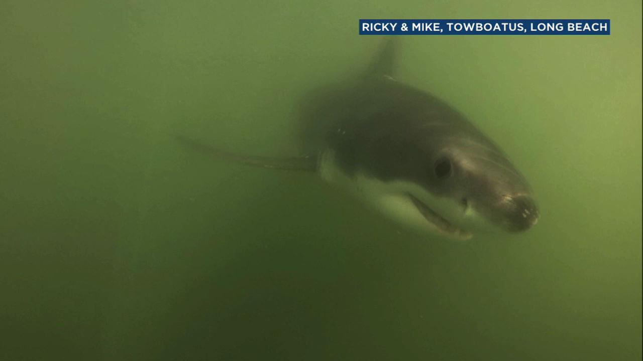 Long Beach shark advisory in effect after multiple sightings