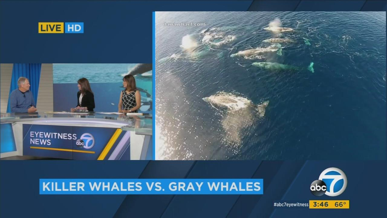Wildlife biologist Bernardo Alps explains why killer whales were attacking gray whales off the coast of California.
