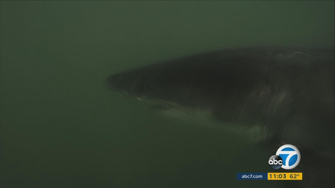 A juvenile great white shark is shown in the murky ocean waters off the coast of Long Beach on Wednesday, May 10, 2017.