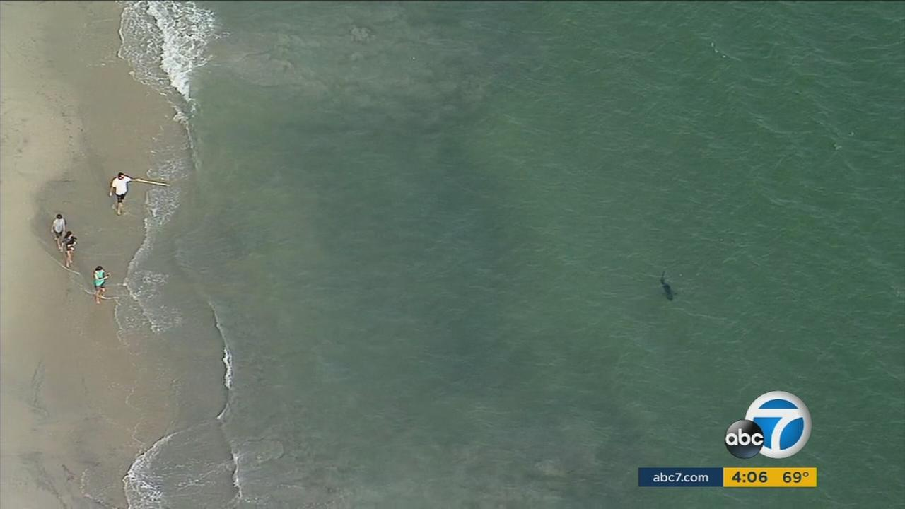 Beachgoers in Long Beach spotted sharks swimming close to shore on Thursday, May 11, 2017.