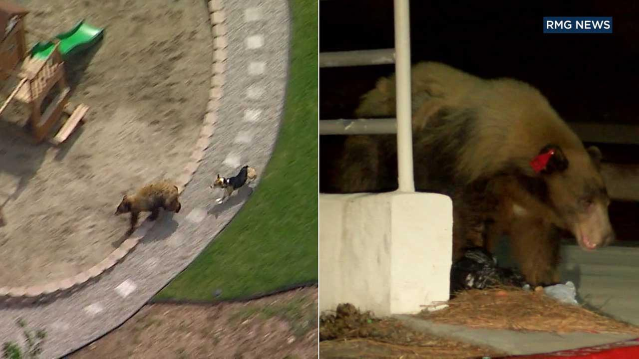 A bear was spotted strolling through Duarte overnight, and sheriffs officials believe it is the same bear that was chased by a brave little dog in Bradbury earlier in the week.