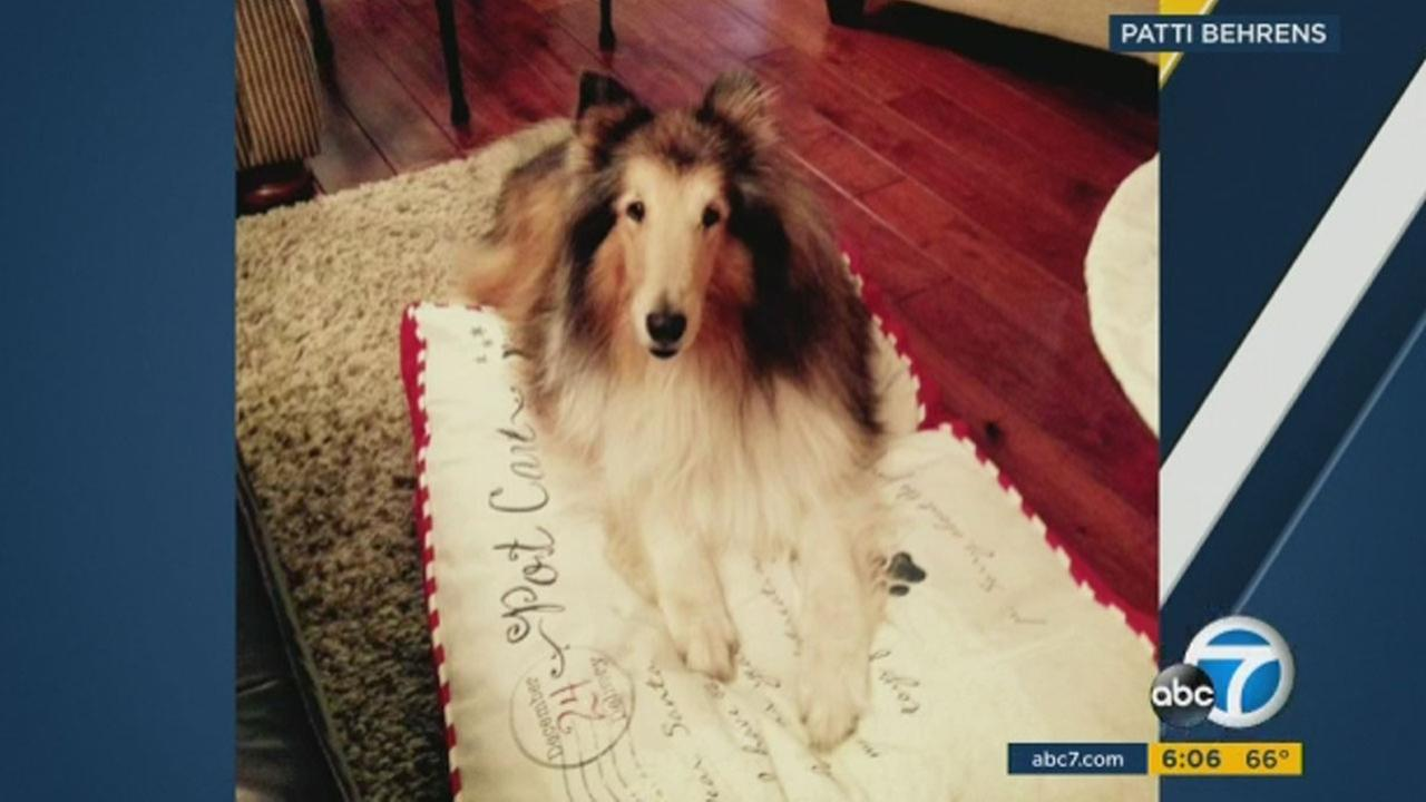 Pati Behrens credits her 12-year-old collie named Saber for saving her life. On Wednesday morning, a bear broke into her garage and tried going inside her home in La Verne.