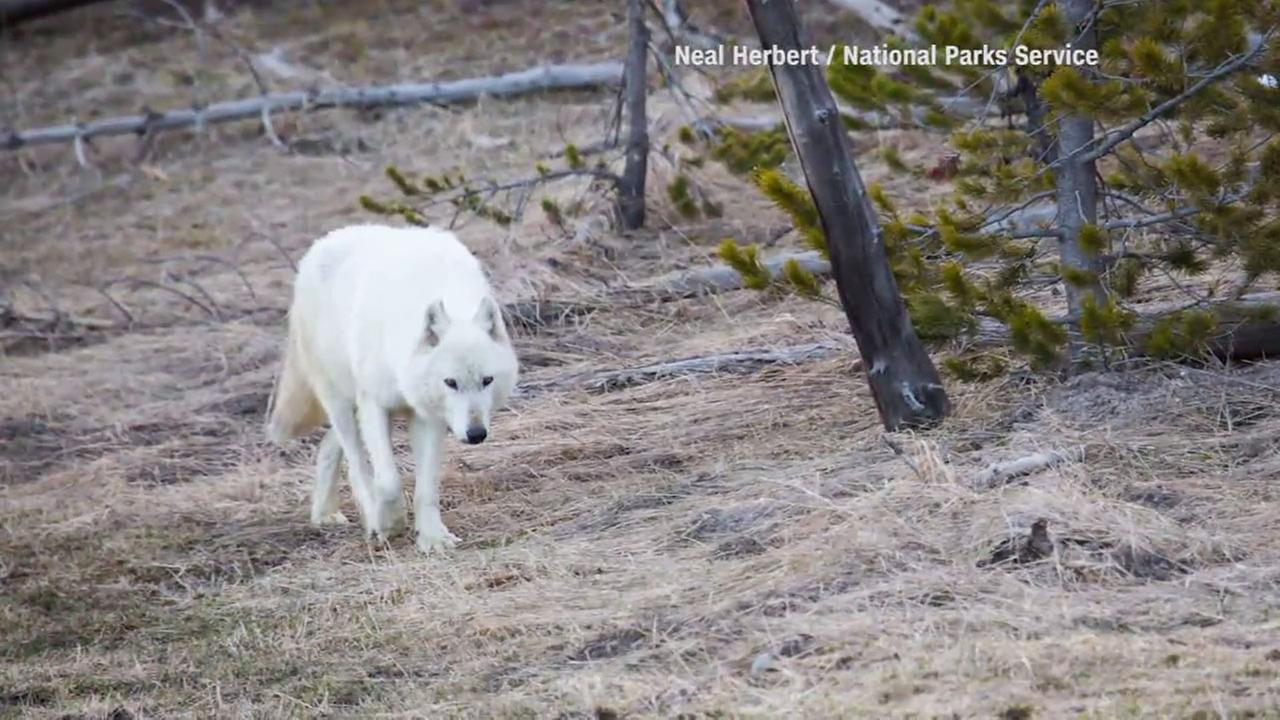 A rare white wolf was euthanized by Yellowstone National Park officials after it was found shot.