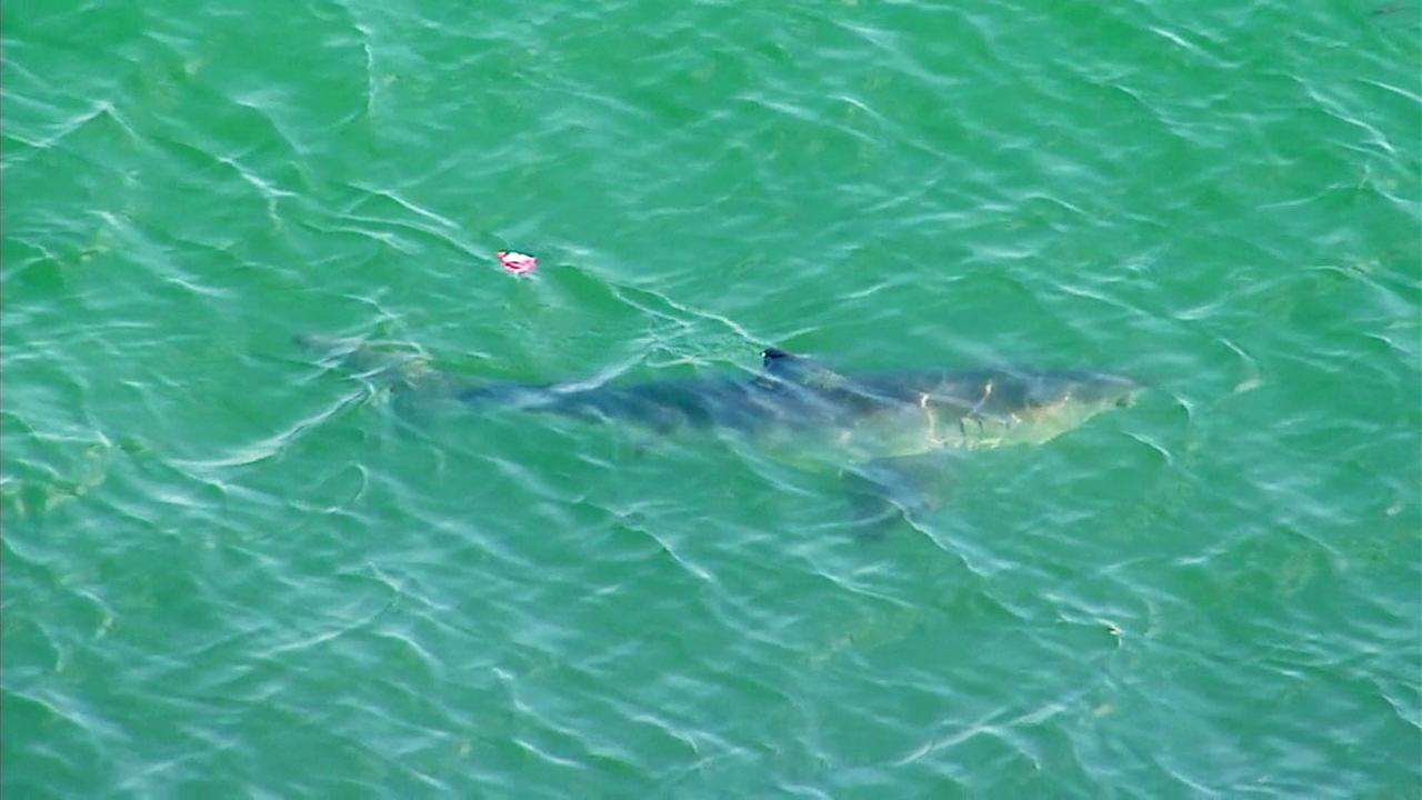 A shark spotted in the waters off Long Beach on Saturday, May 13, 2017.