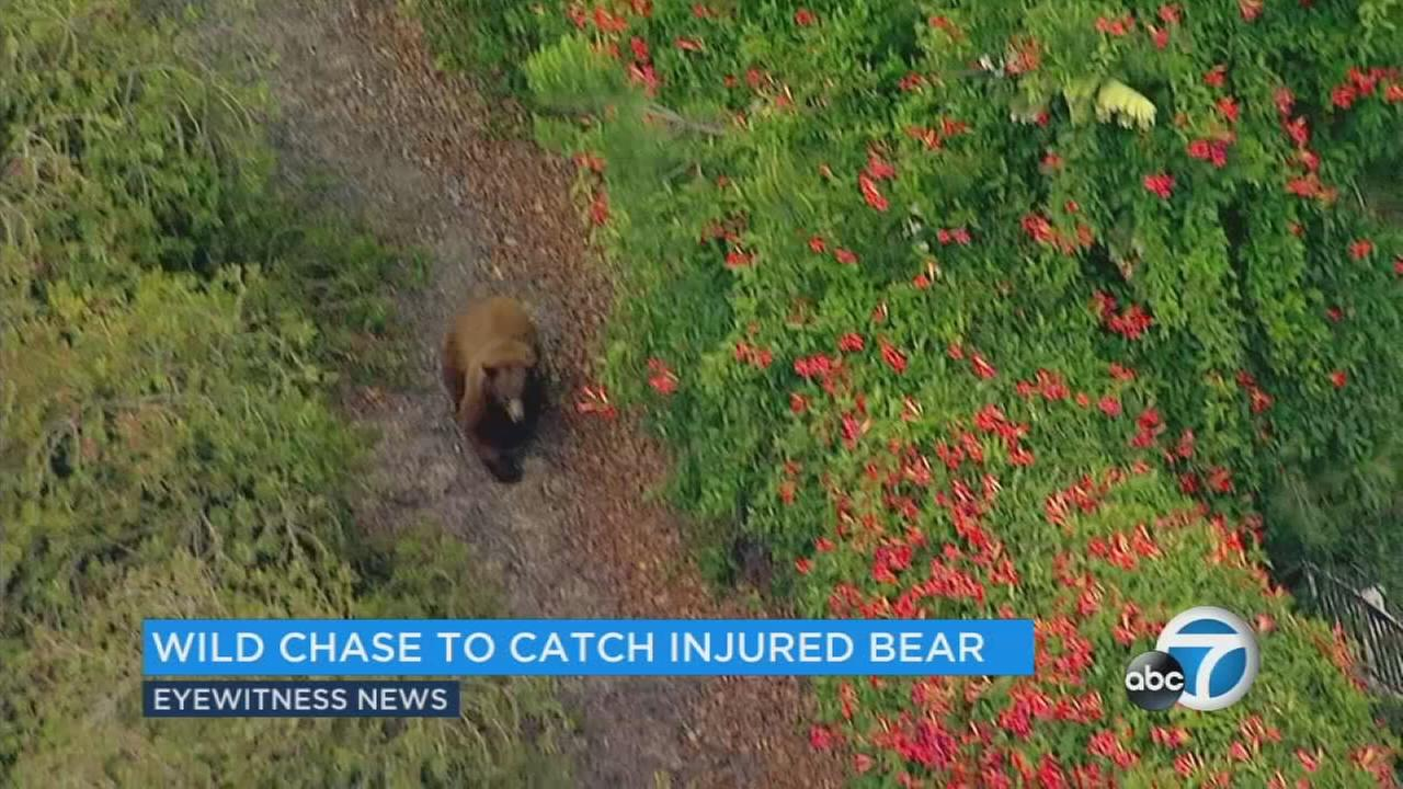 A young female bear that was hit by a car on the 210 Freeway in La Verne was transported to a Humane Society facility in Pomona but officials said a severe broken leg required the bear to be euthanized.