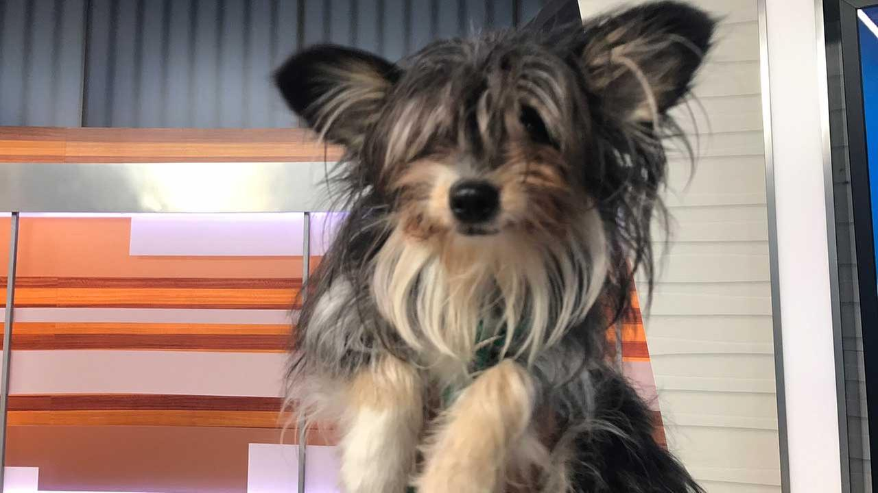 Our ABC7 Pet of the Week on Tuesday, May 16, is Buttercup, a 1-year-old Chinese crested mix. Please give her a good home!