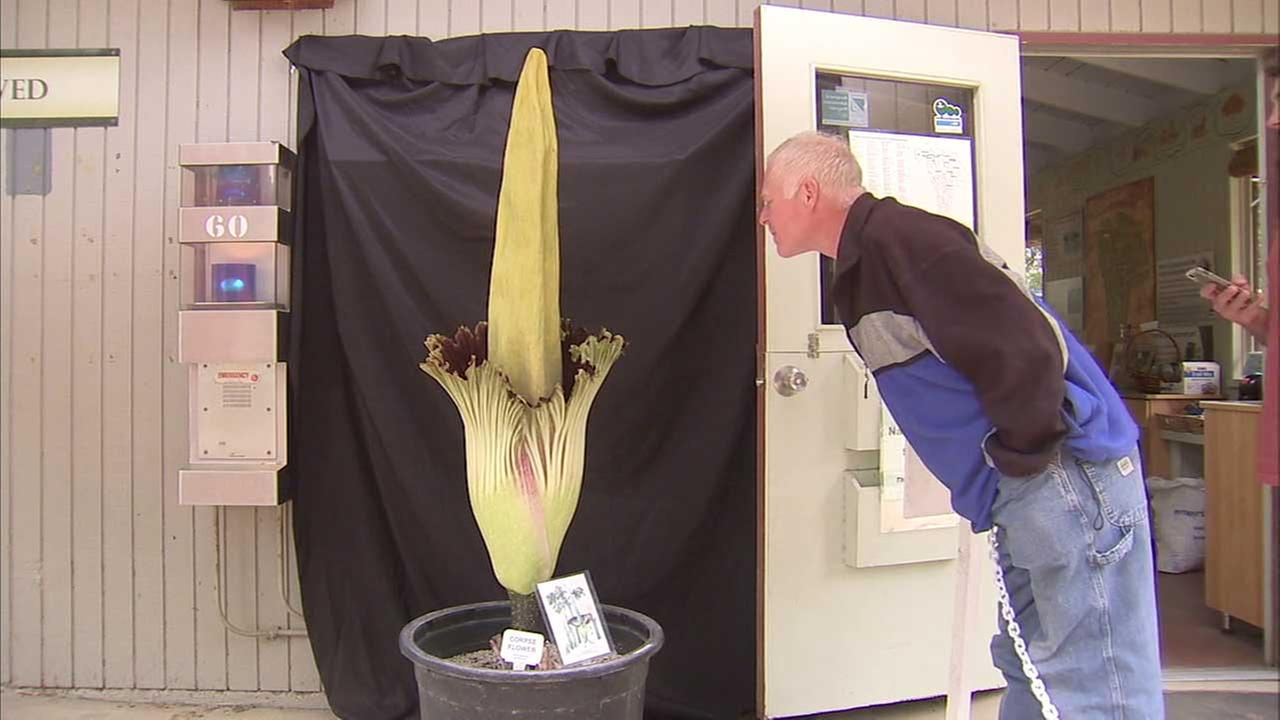 A visitor at the Fullerton Arboretum leans in to get a good whiff of the plant aptly known as the corpse flower on Tuesday, May 16, 2017.