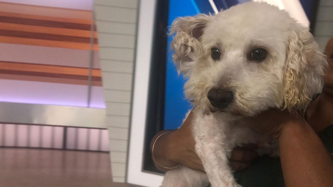 Buddy, a 5-year-old miniature poodle mix, is shown at the ABC7 studios on Tuesday, May 23, 2017.