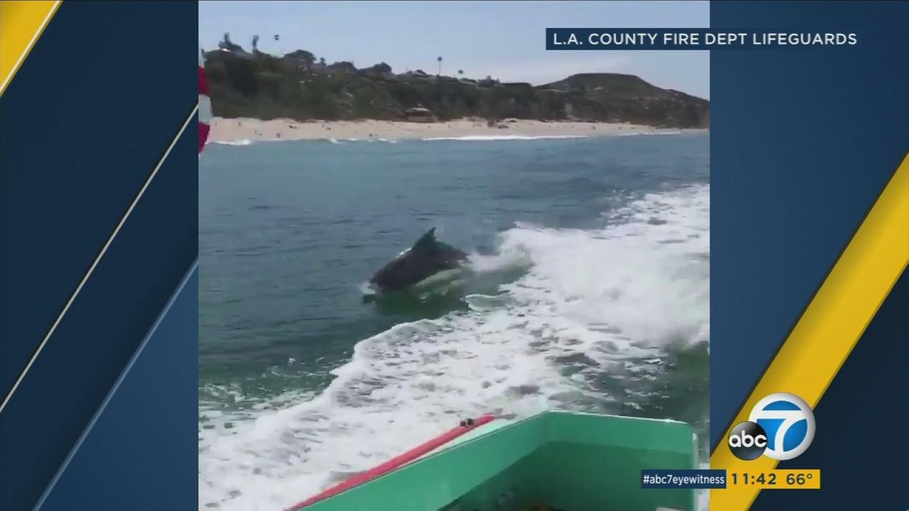 A school of dolphins was seen keeping lifeguards company off the coast of Malibu this holiday weekend.