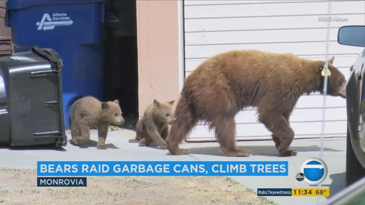A mother and her two cubs created chaos during their visit to a Monrovia on Tuesday.