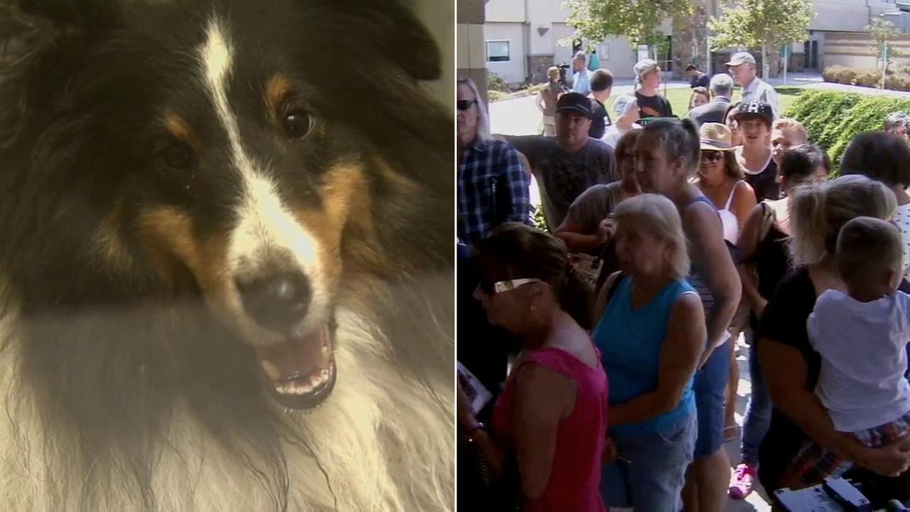 One of over 50 Shelties rescued from a house fire is seen, left. A crowd of people line up to adopt the dogs on Monday, July 21, 2014, right.
