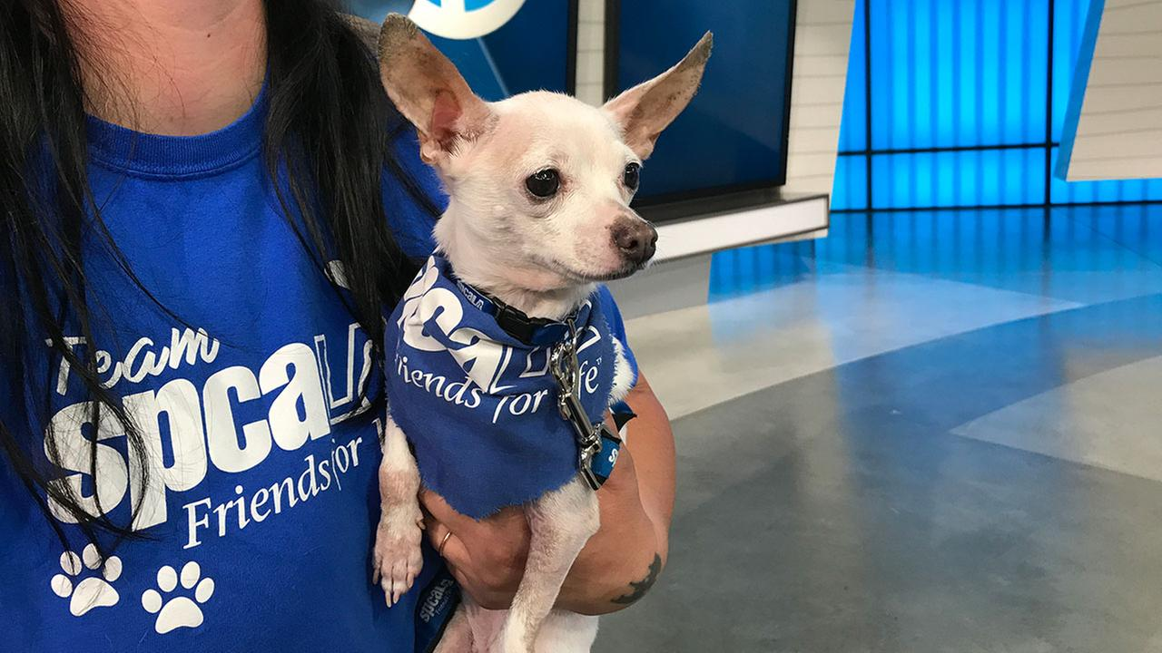Our ABC7 Pet of the Week segment on Thursday, June 22, featured a 6-year-old Chihuahua mix named Polly. Help give her a good home!