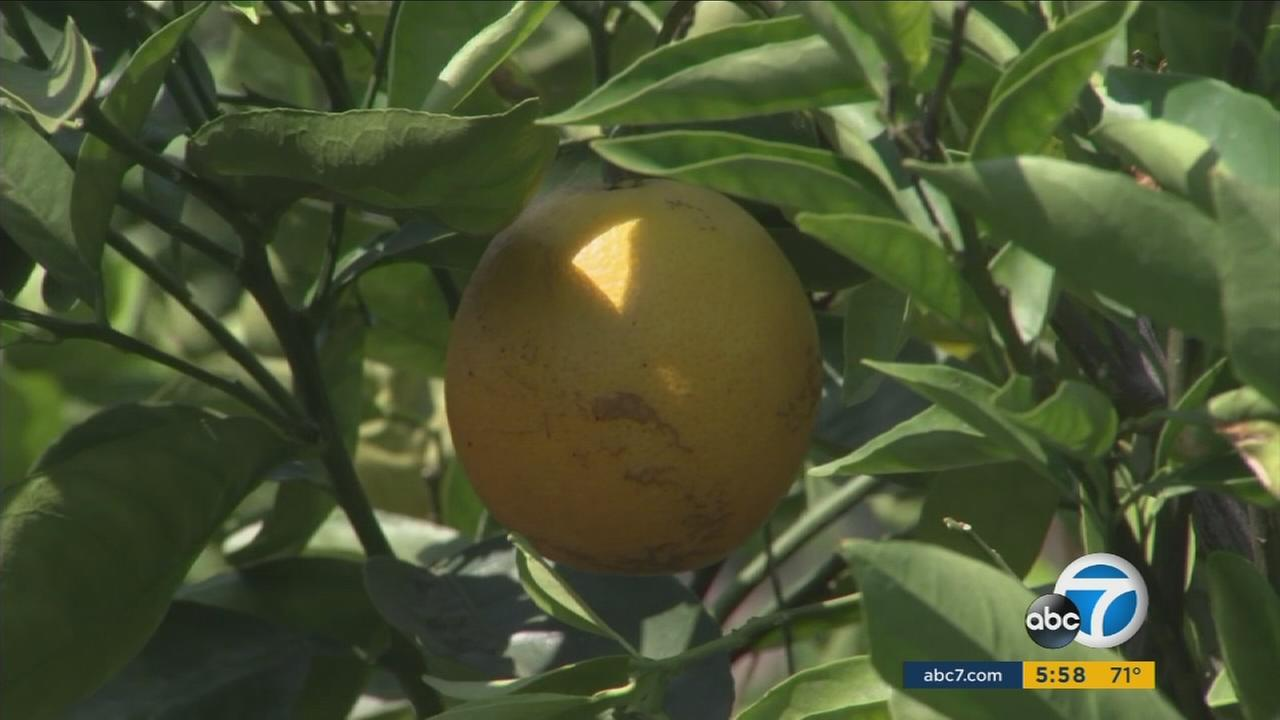Some nursery owners in Orange County must stop selling citrus plants after inspectors found Huanglongbing, or HLB, in the area.