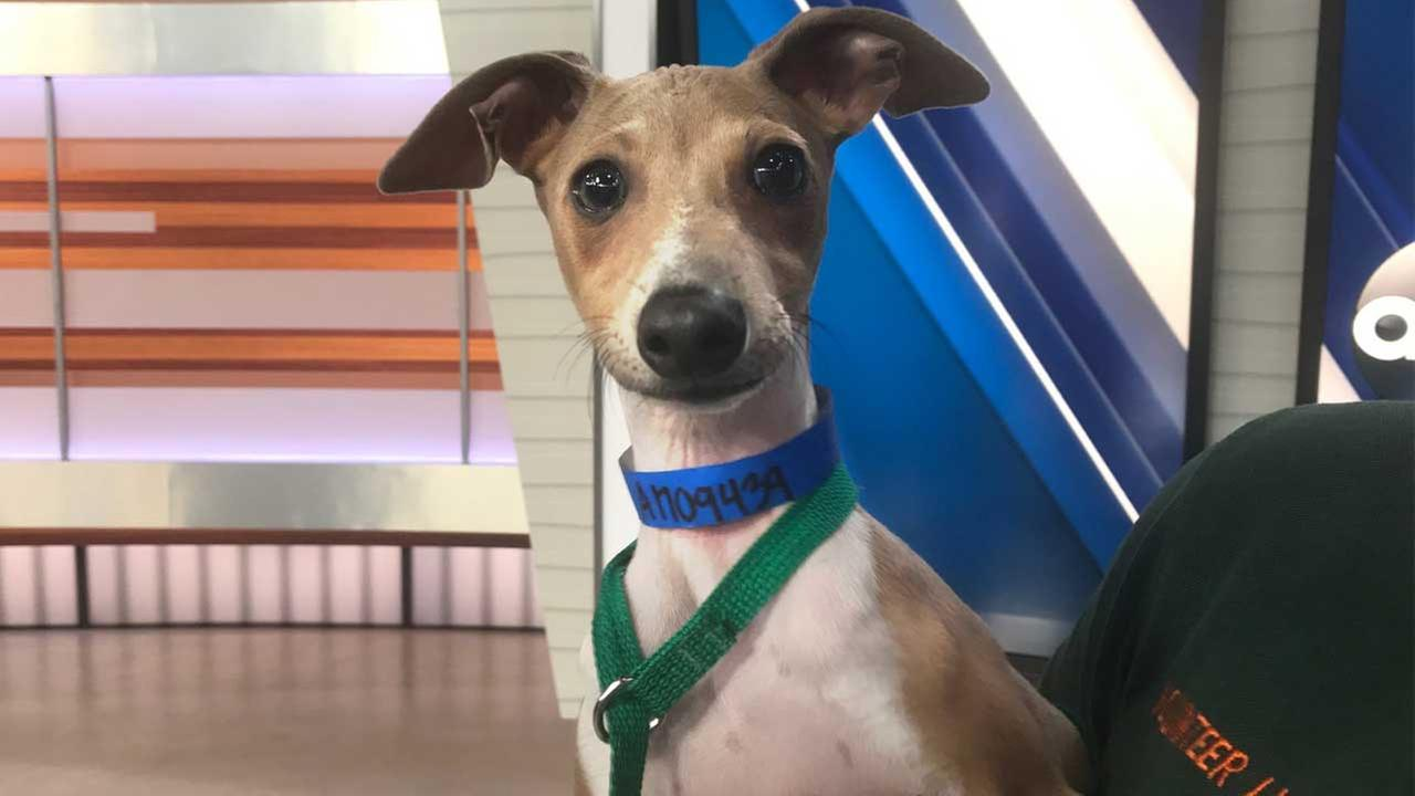 Our ABC7 Pet of the Week on Tuesday, June 27, is Vinny, a 5-month-old Italian greyhound mix. Please help give him a good home!