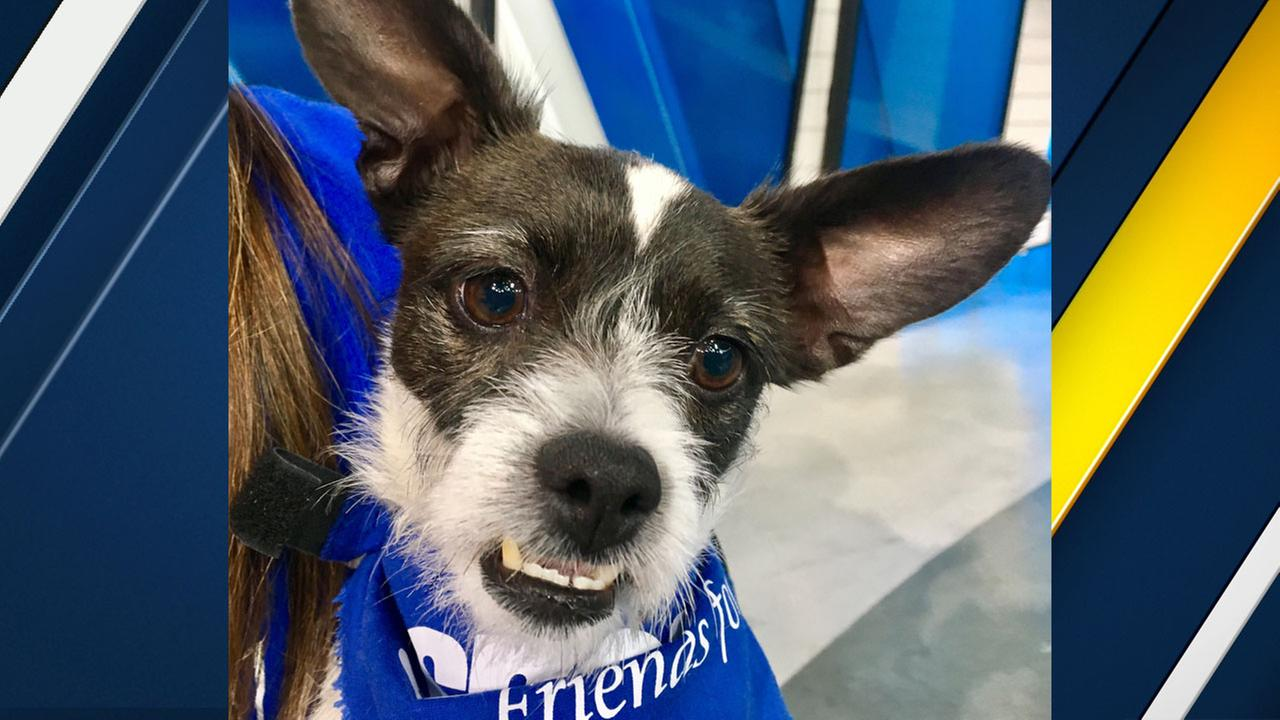Honey Bun, a 5-year-old terrier mix, is shown in the ABC7 studios on Thursday, July 6, 2017.