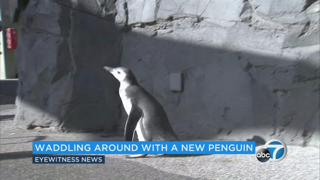 Theres a new penguin waddling around the Aquarium of the Pacific in Long Beach.