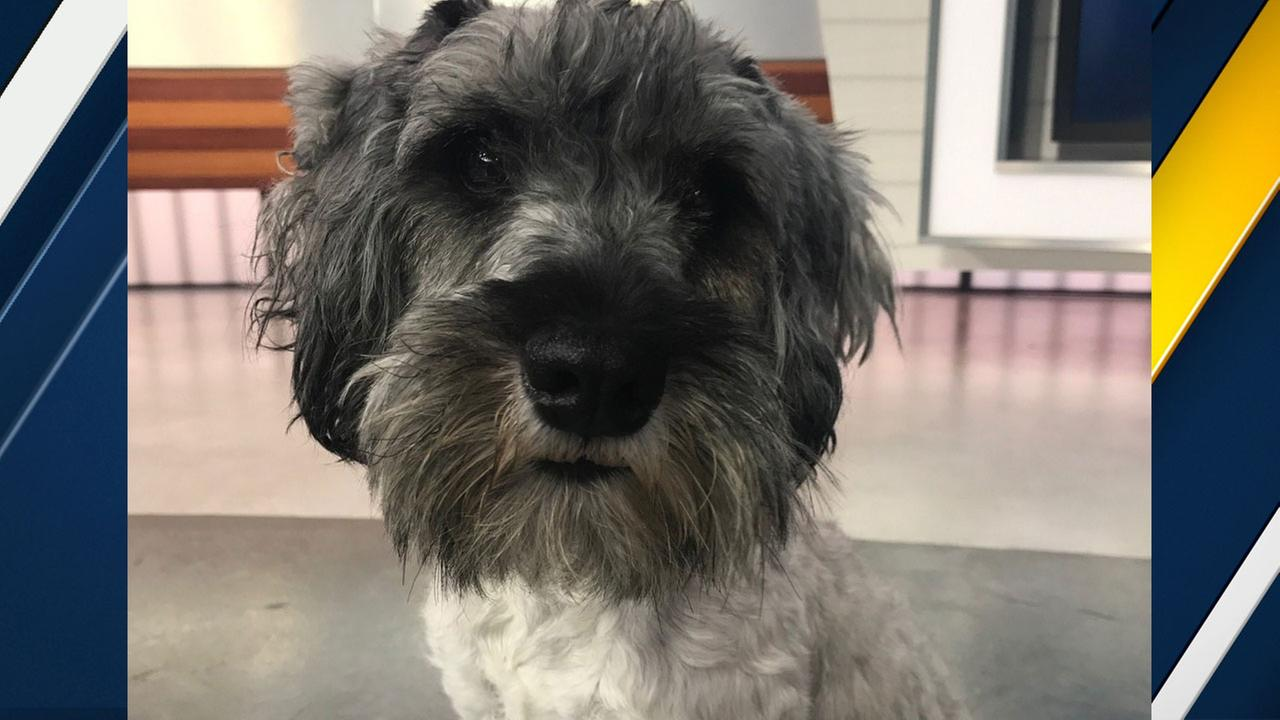 Our ABC7 Pet of the Week for Tuesday, Aug. 8, is a 5-year-old female miniature schnauzer mix named Lucy. Please give her a loving home.