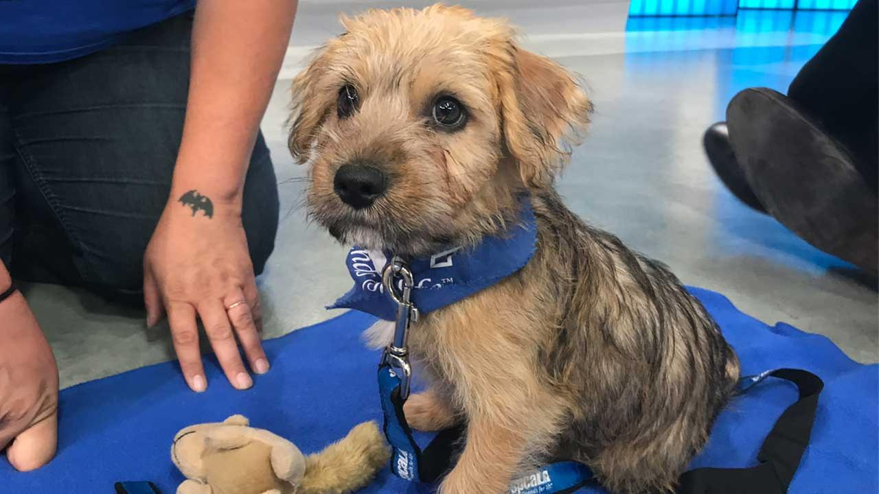 Our ABC7 Pet of the Week for Thursday, Aug. 10, is a 3-month-old male terrier mix named Riku. Please give him a loving home!
