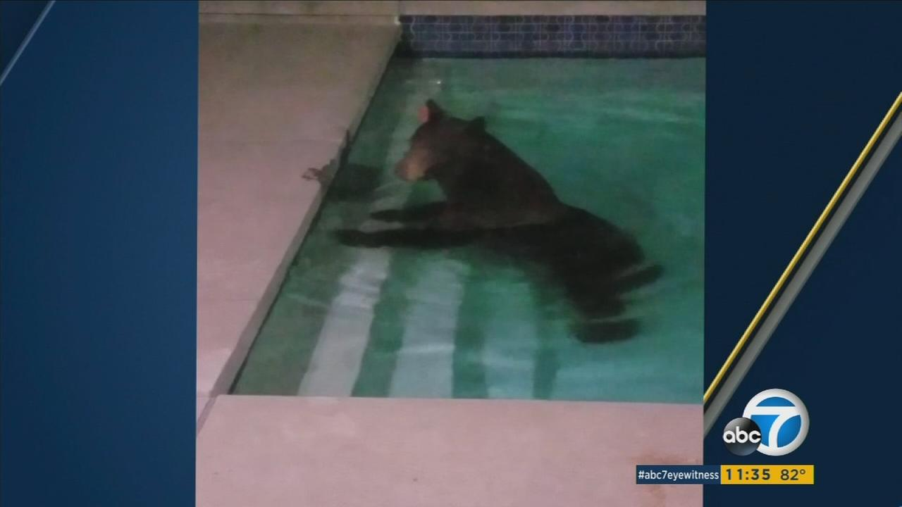 Bear hangs out in Granada Hills pool