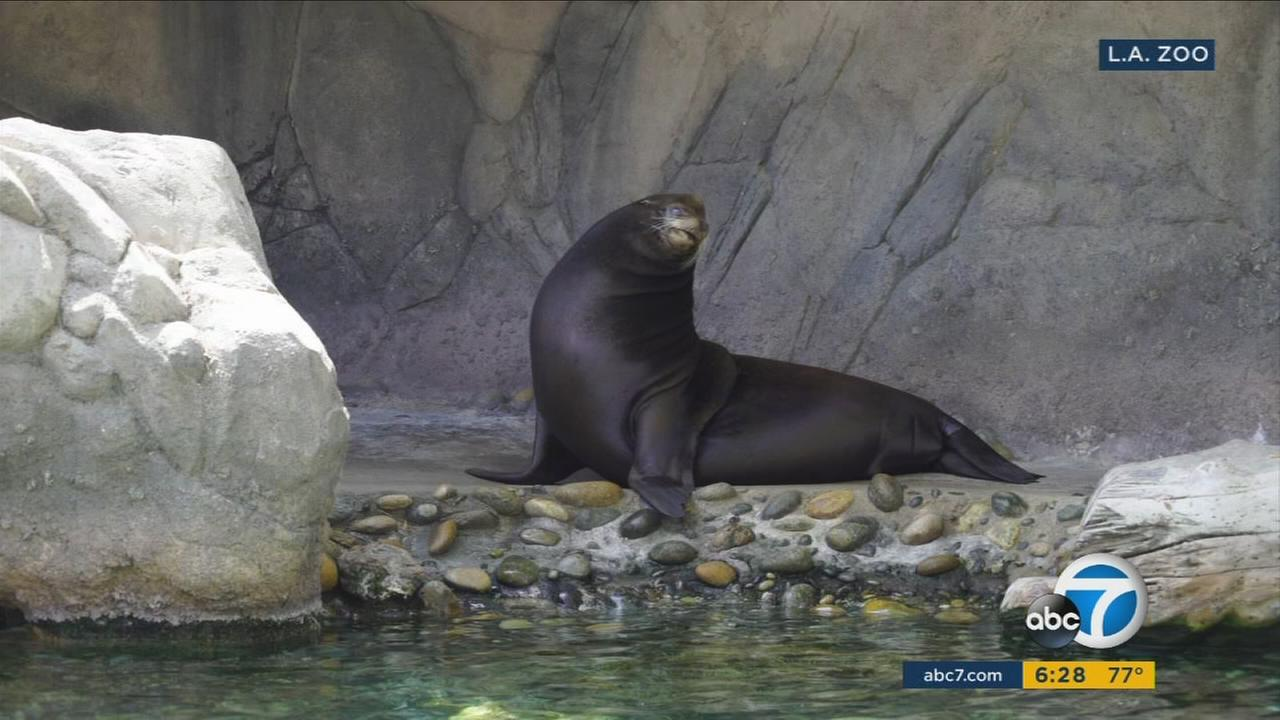Buddy the blind California sea lion is shown in his habitat in the Los Angeles Zoo on Tuesday, Aug. 22, 2017.