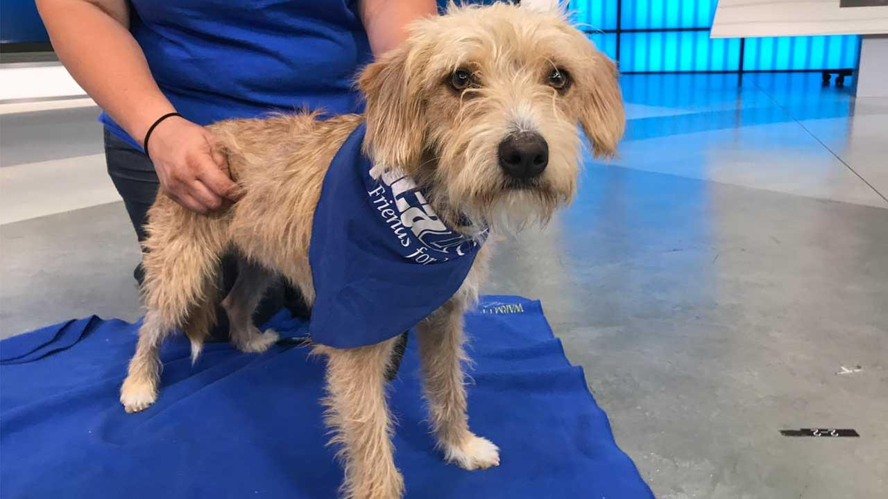 Our ABC7 Pet of the Week for Thursday, Aug. 31, is a 1-year-old male terrier mix named Bub. Please give him a loving home!