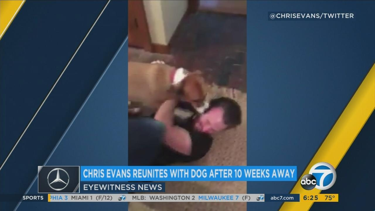 Chris Evans is attacked with doggy kisses and tail wags when he is reunited with his pal Dodger after being away for 10 weeks.