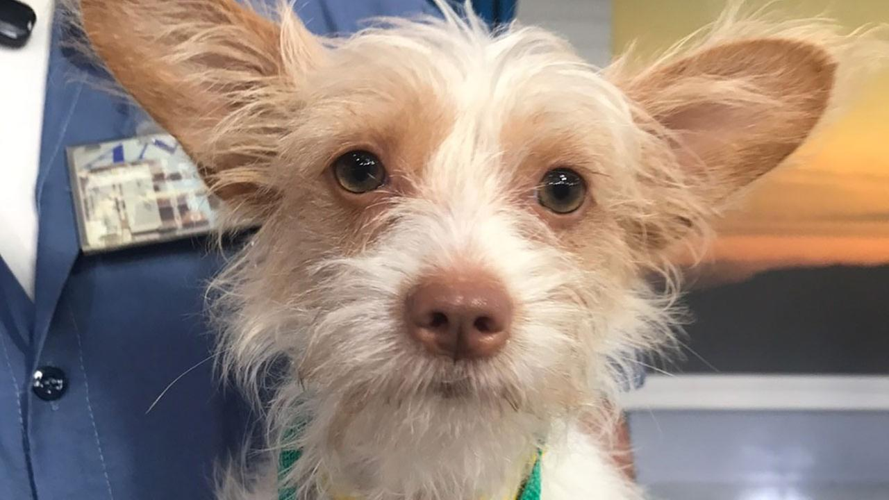 Our ABC7 Pet of the Week for Tuesday, Sept. 5, is a 10-month-old female Terrier mix named Stitch. Please give her a loving home!