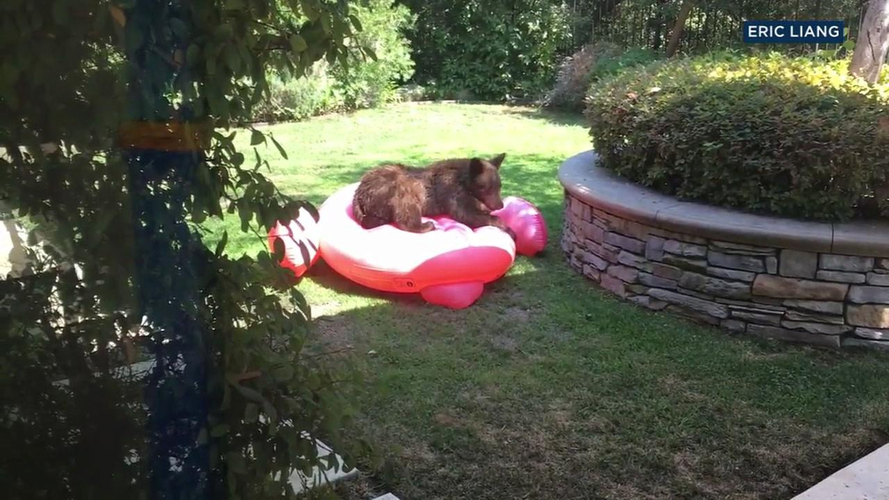 video bear cub wrestles with inflatable flamingo in arcadia