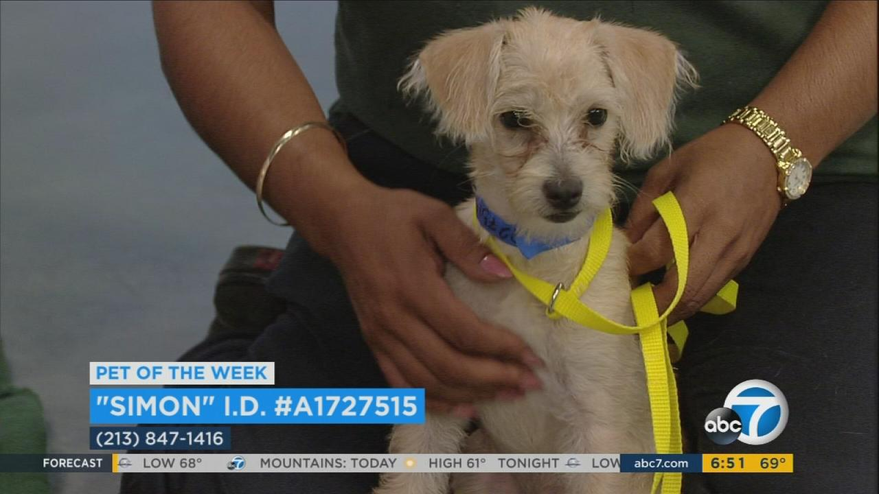 Our ABC7 Pet of the Week for Tuesday, Sept. 12, is a male terrier mix puppy named Simon. Please give him a loving home!