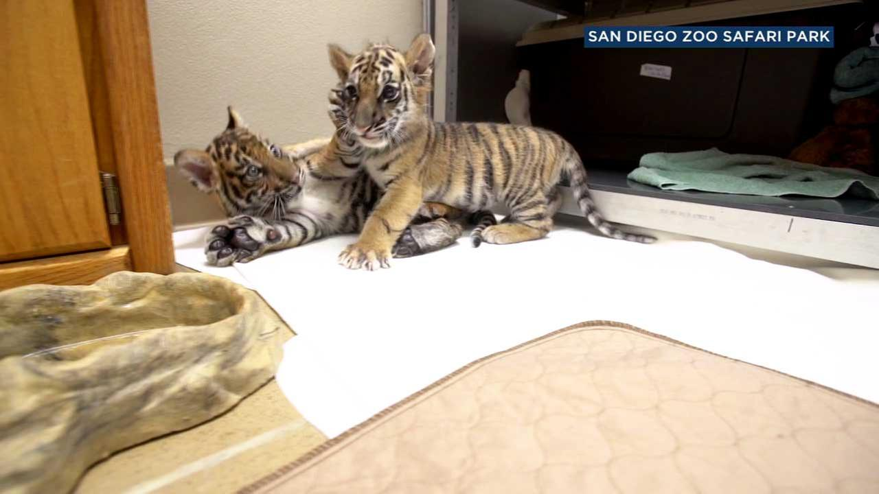 Two tigers are seen playing at the San Diego Zoo Safari Park.