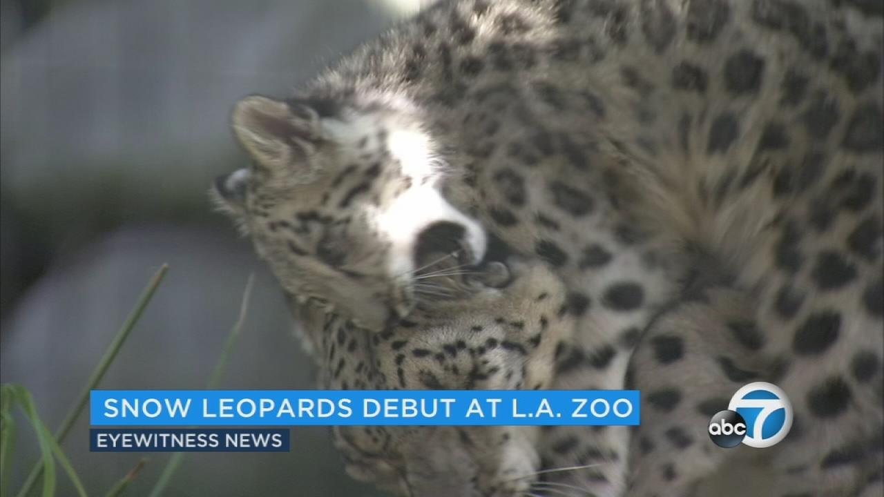 Two endangered snow leopard cubs born at the Los Angeles Zoo made their adorable debut Tuesday.