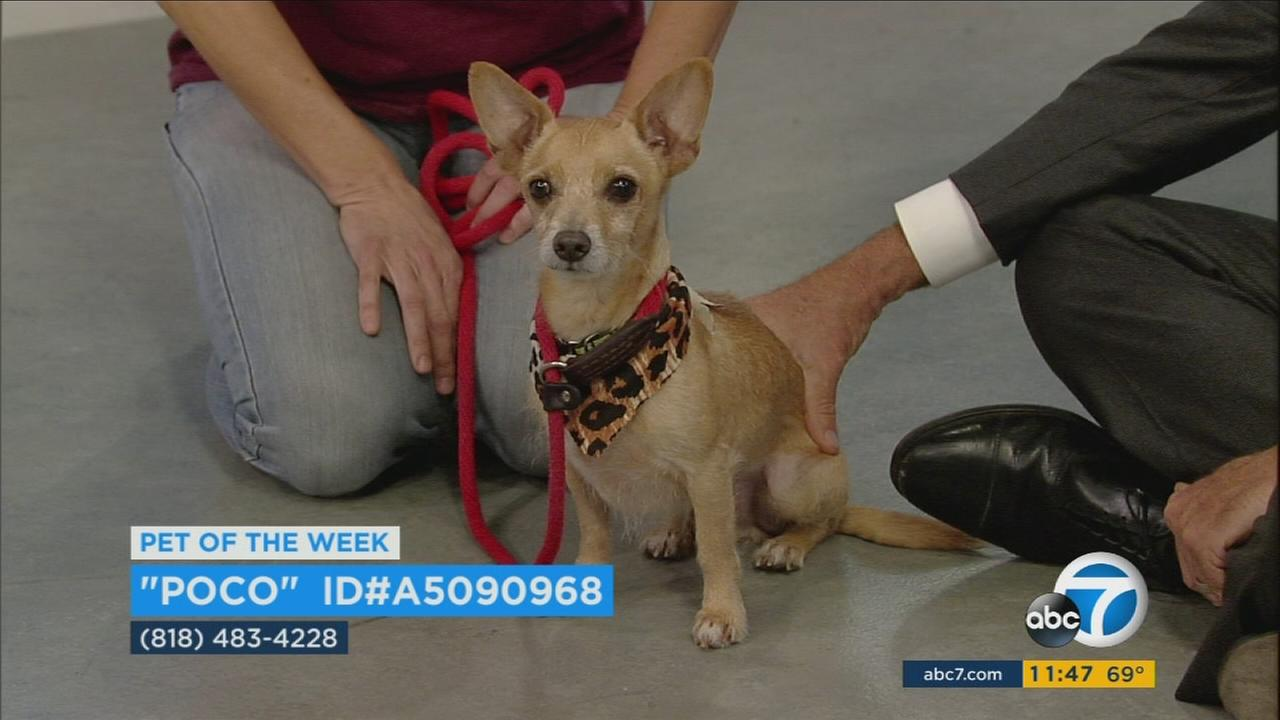 Our ABC7 Pet of the Week for Thursday, Sept. 21, is a male terrier mix named Poco. Please give him a loving home!