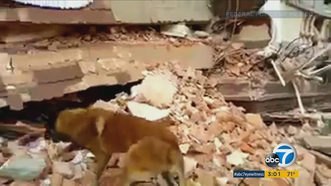 Rescue crews are using search dogs to help find survivors of the Mexico earthquake.