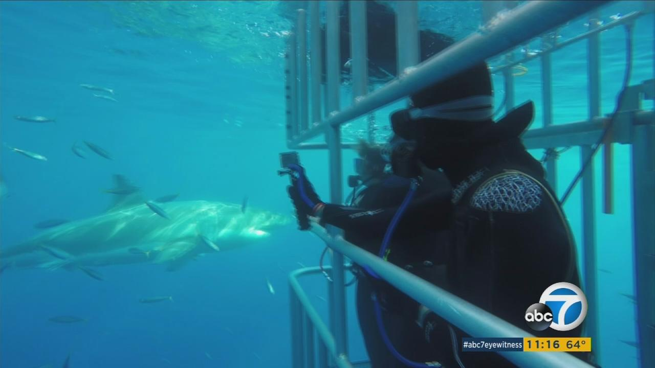 A great white shark is shown swimming next to a cage with ABC7 report Leanne Suter inside.