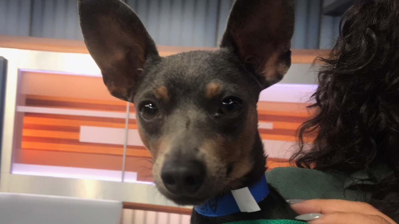 Our ABC7 Pet of the Week for Tuesday, Oct. 3, is a male miniature pinscher mix named Spike. Please give him a loving home!