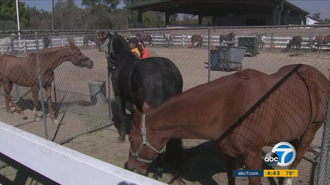 As the Canyon Fire 2 spread in Orange County hundreds of horses were evacuated to the fairgrounds and other safe locations.