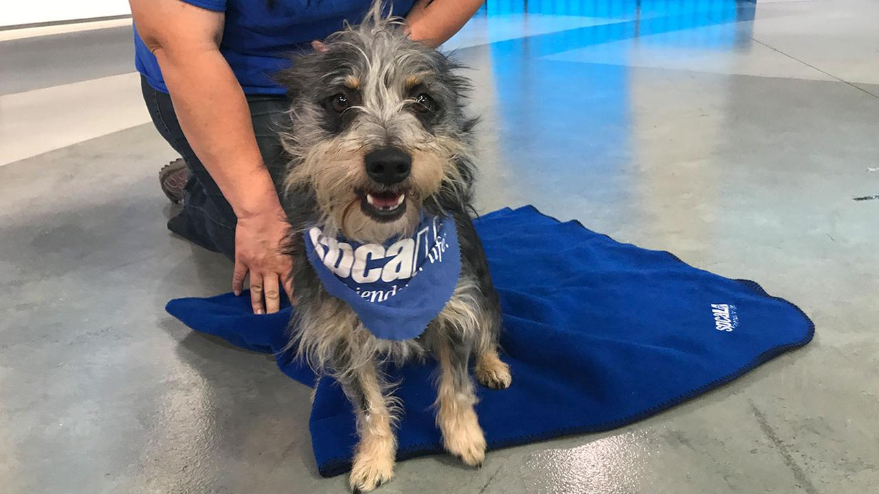 Our ABC7 Pet of the Week for Thursday, Oct. 12, is a male terrier mix named Tristan. Please give him a loving home!