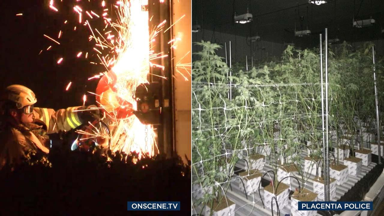(Left) A firefighter attempts to enter a structure harboring a marijuana grow operation in Placentia. (Right) Placentia police released a photo of marijuana plants found in a bust.