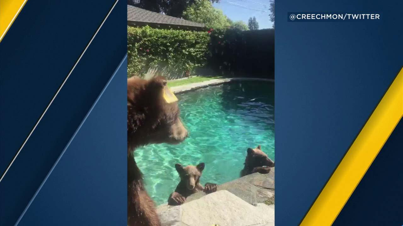 A mama bear and her cubs made themselves at home at a Monrovia residence, even enjoying a quick dip in the pool on Saturday, Oct. 21, 2017.
