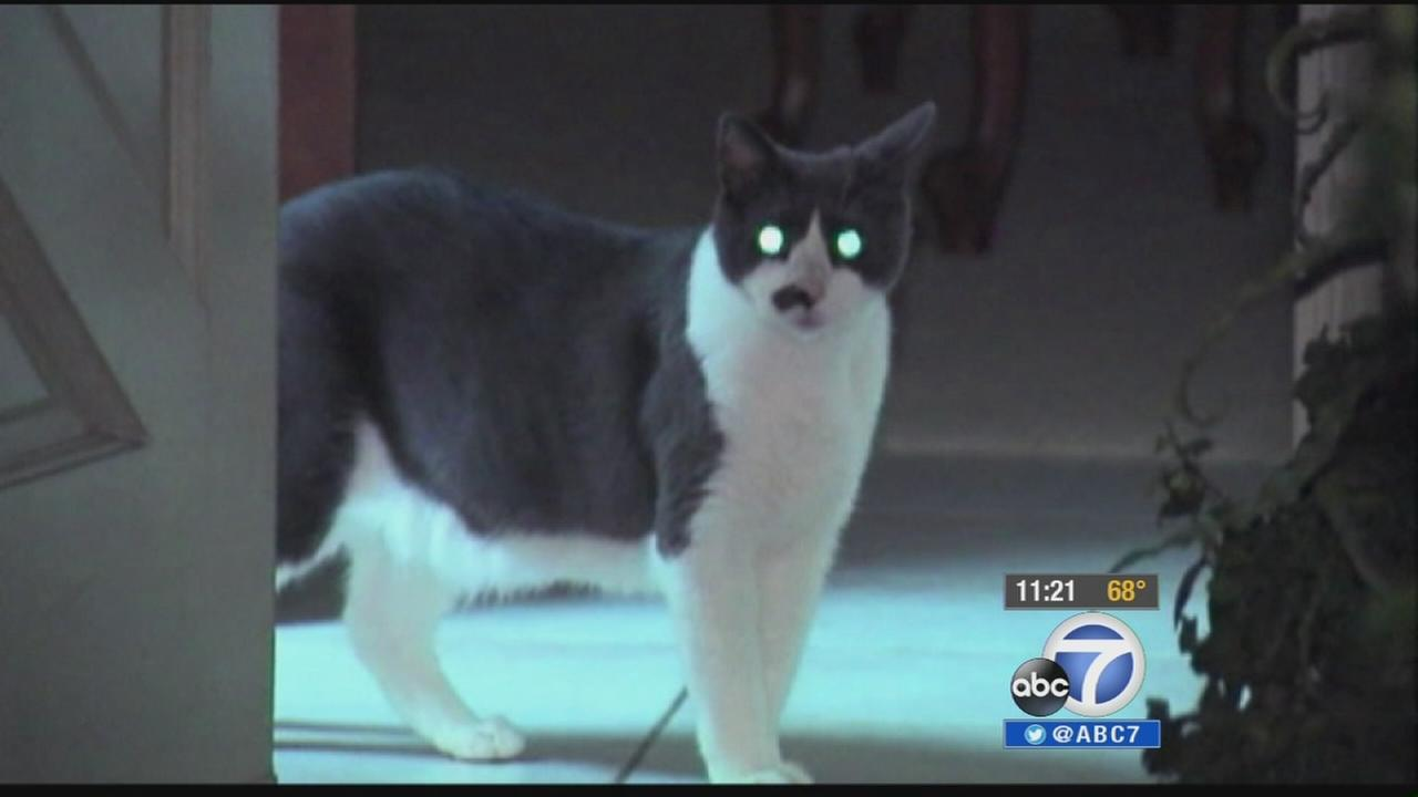 Cuppy the cat is seen at a Chula Vista home.