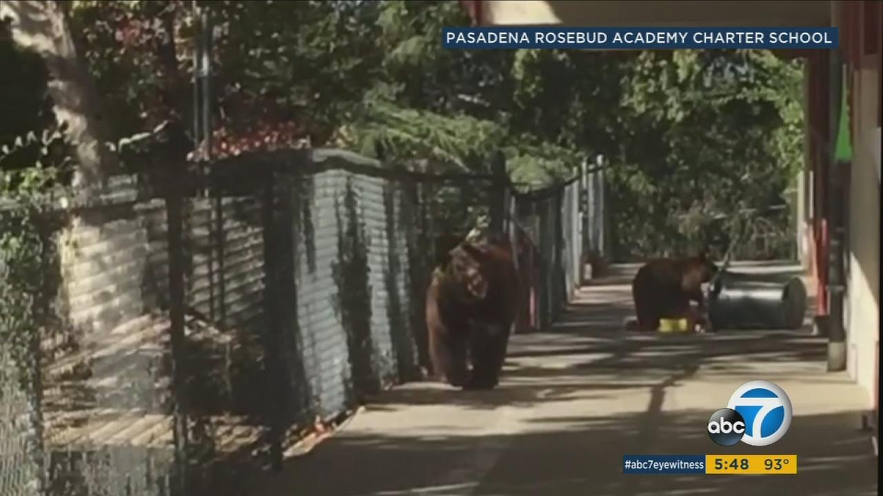 Two bears were spotted roaming the campus at Pasadena Rosebud Academy in Altadena on Tuesday, Oct. 24, 2017.