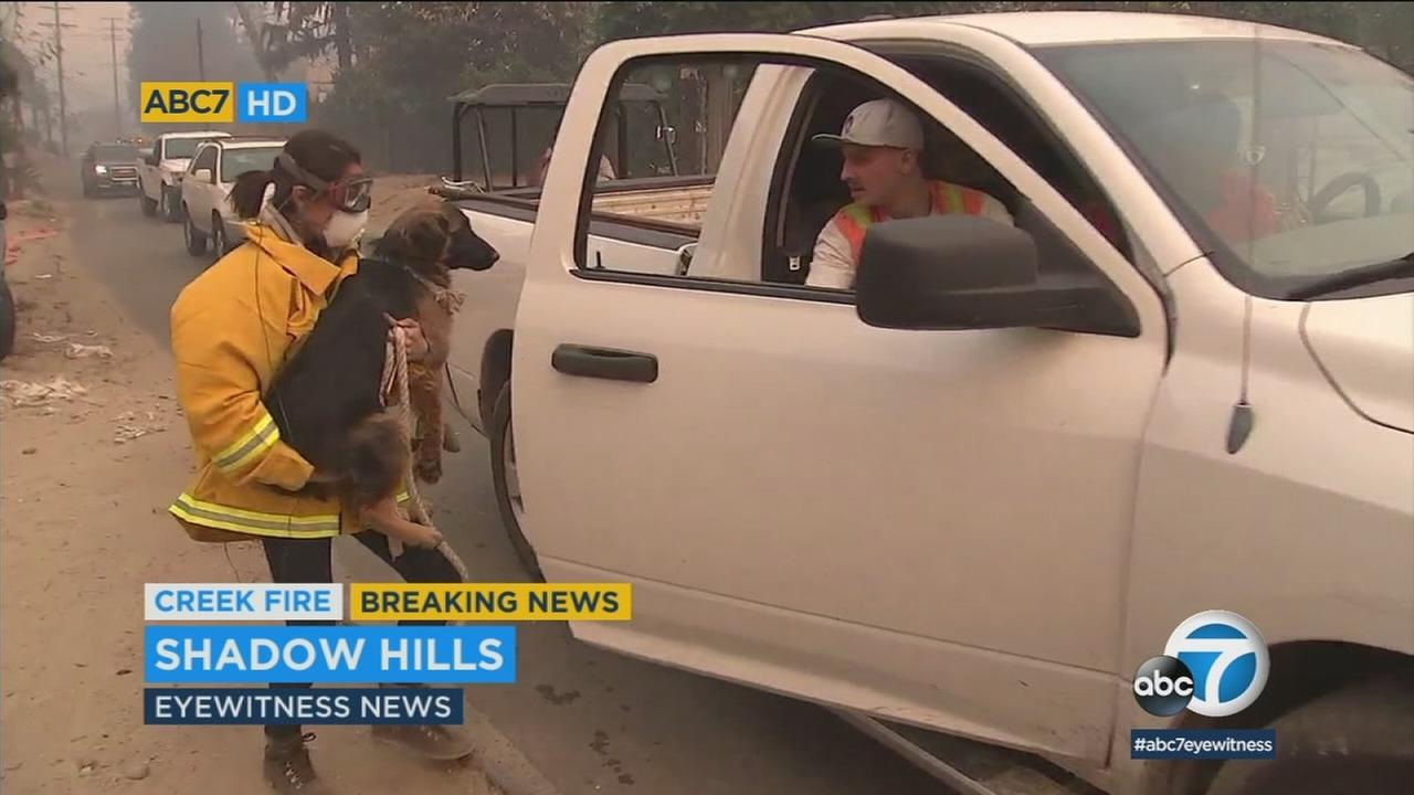ABC7 reporter Veronica Miracle helped evacuate a dog from the path of the Creek Fire in Shadow Hills.